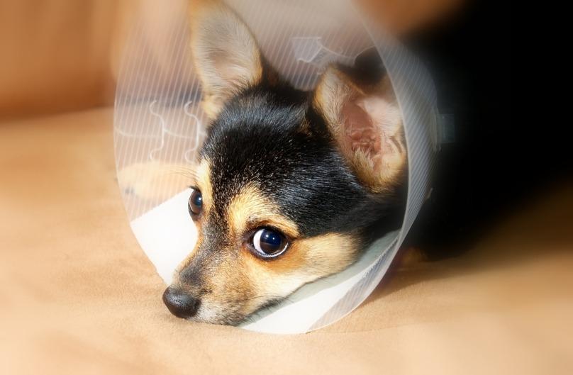 Weigering verzekeringsclaim voor zieke Chihuahua - Van Breukelen Advocatuur